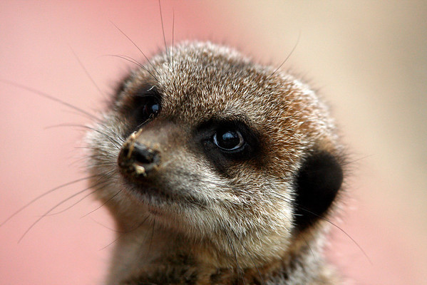 IMAGE: http://gembobs.smugmug.com/Animals/Welsh-Mountain-Zoo/Meerkat-reworked/830223065_Phr3Z-M.jpg